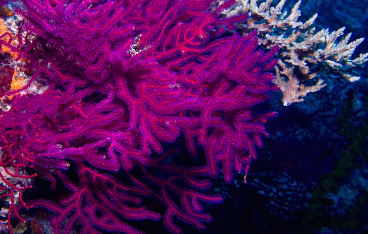 purple.coral