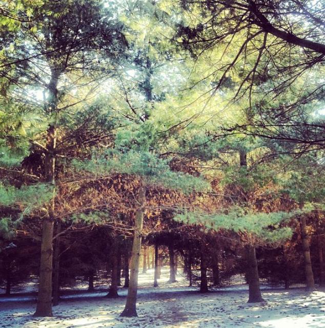 Pine.trees