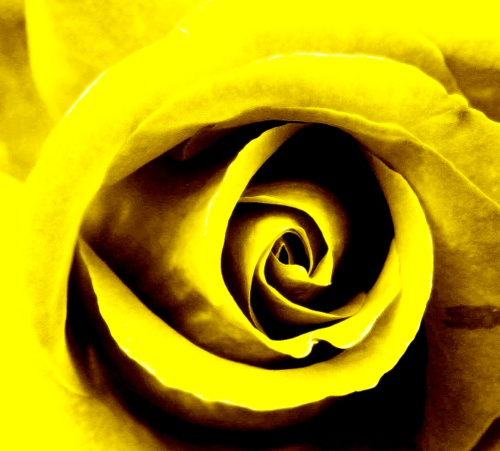 solar.plexus.yellow.rose