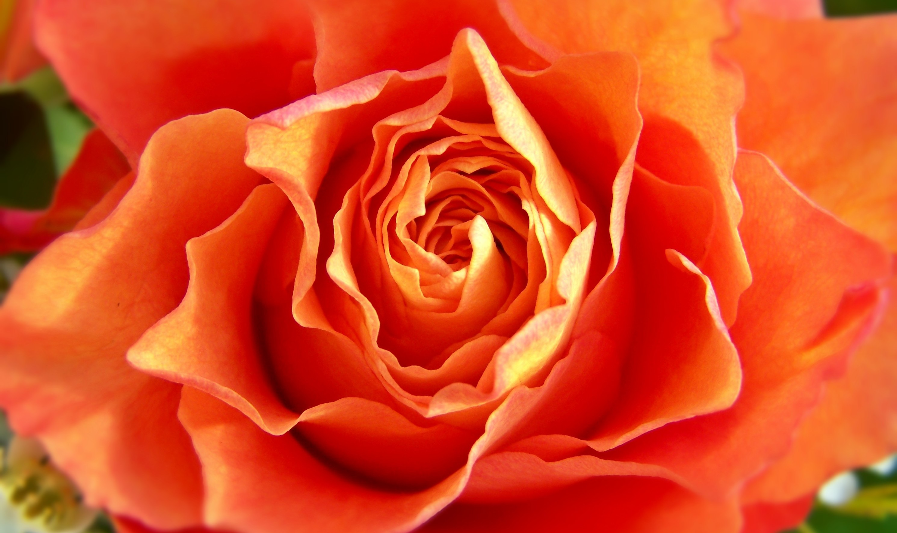 reiki4_orangerose