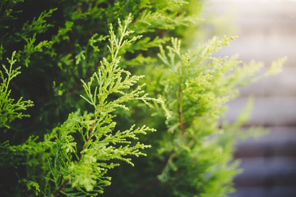 Cypress leaves from the cypress tree, used for making Cypress essential oil