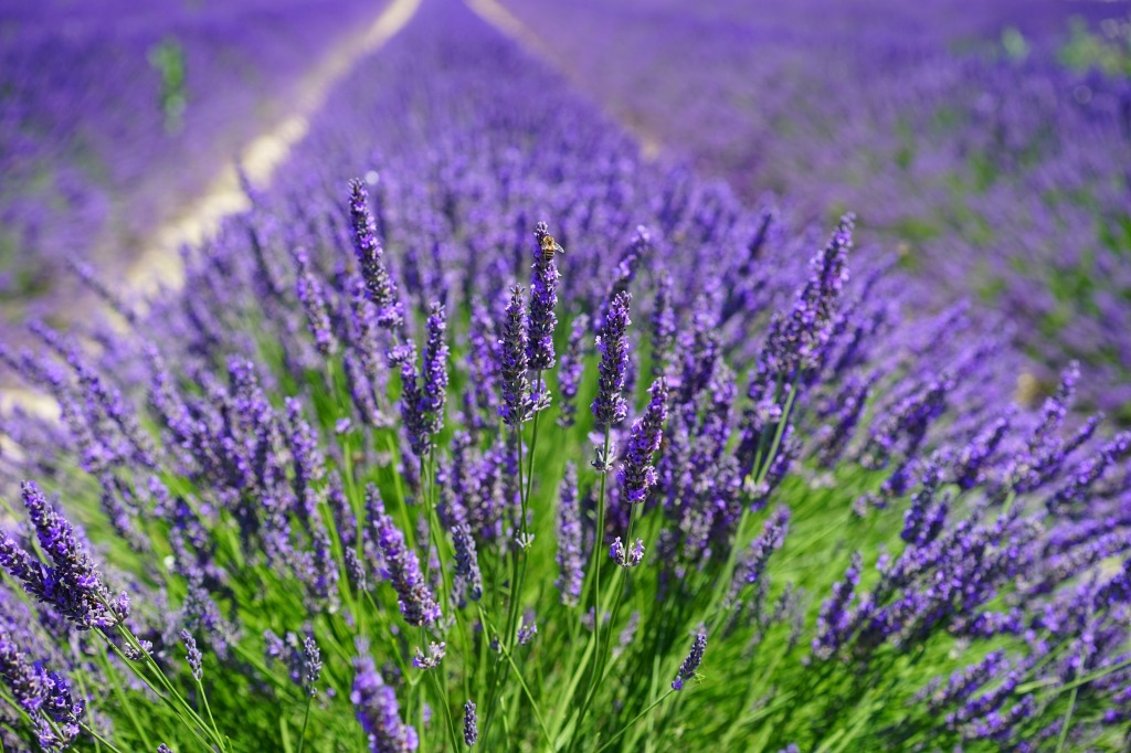 Fields of lavender flower, used to make Lavender essential oil.